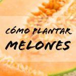 ¿Cómo plantar melones?