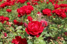 cuidados-de-las-rosas