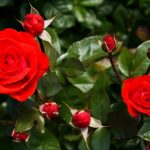 Cómo plantar rosas en nuestros jardínes