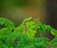 El Cultivo del árbol de la Moringa: Cómo plantarlo