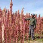Cómo Plantar Quinoa en España
