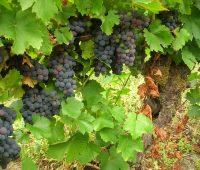 Cómo plantar y cultivar un viñedo