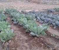Cómo plantar brocoli en tu huerto