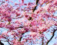Cómo Plantar un cerezo en nuestro jardín