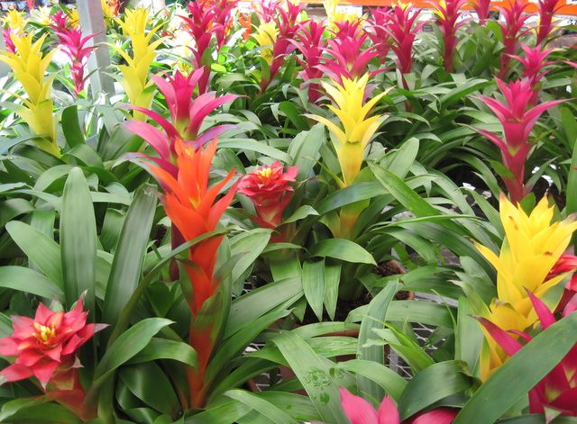 C mo plantar cultivar y cuidar bromelias como for Como cuidar las plantas ornamentales