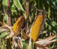 Como sembrar maíz en tu huerto