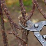 ✔Cuándo y cómo podar un rosal arbustivo