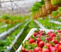 Deliciosas Fresas. Aprende a plantarlas y cultivarlas