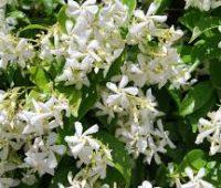 El jazmín: Como realizar su plantación y posteriores cuidados