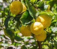 Plantar un limonero en nuestra casa