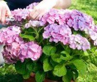 Cómo y cuándo podar una hortensia para obtener más flores