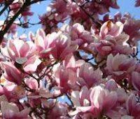 Cómo plantar una magnolia en nuestro jardín