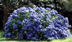 Consejos para el cuidado y plantaci n de las hortensias - Cuidado de las hortensias ...