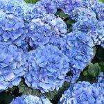 Consejos para el cuidado y plantación de las hortensias