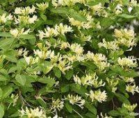Plantar Madreselva o Lonicera japonica. Trepadora olorosa