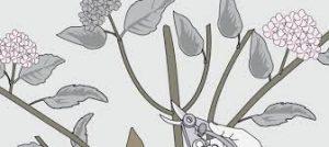 C mo y cu ndo podar una hortensia para obtener m s flores - Como podar la hortensia ...