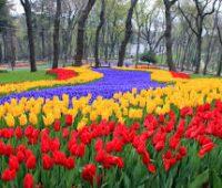 Aprende a plantar y cuidar los tulipanes de tu jardín