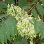 Ailanthus altisima