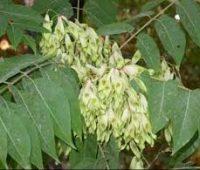 Ailanto o árbol del Cielo: Ailanthus Altisima
