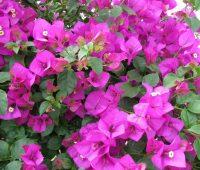 Buganvillas: Cuidados, plantación y variedades