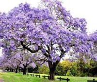 Plantar una Paulownia Tomentosa. Un árbol oriental
