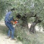 ▷Como podar un olivo. Generalidades de la poda