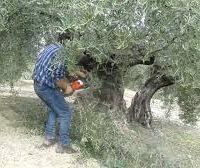 Como podar olivos. Generalidades de la poda