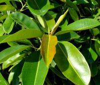Plantar y cuidar el Ficus elastica o Árbol del Caucho