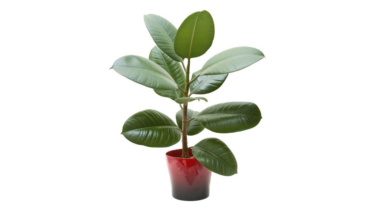 Ficus en maceta como plantar y cuidar tus plantas - Como cuidar hortensias en maceta ...