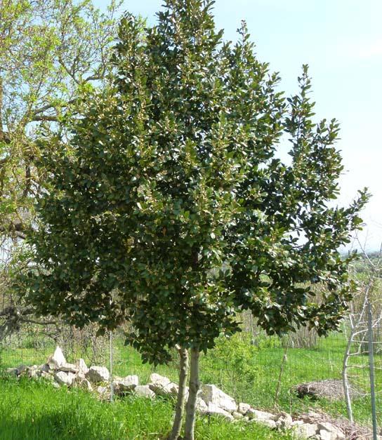 Laurel arbol como plantar y cuidar tus plantas - Poda del laurel ...
