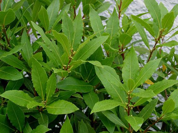 C mo plantar y cuidar un laurel propiedades del laurel - Poda del laurel ...