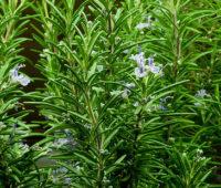Plantar rosmarinus officinalis o romero en nuestro jardín