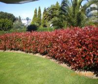 Photinia, cuidados y plantación