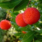 Madroño (Arbutus unedo). Cuidados, plantación y usos