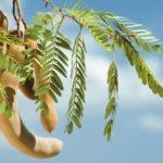 7 increibles beneficios del tamarindo