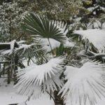 Trachycarpus fortunei o palmito. Resistente al frío