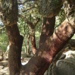 El Alcornoque. Peculiaridades y cuidados
