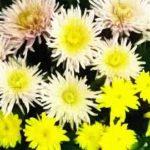 La flor del crisantemo. Cultivo y cuidados