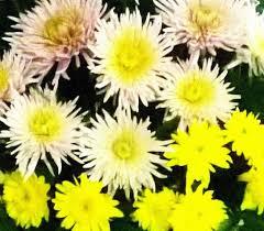 La flor del crisantemo cultivo y cuidados como - Como cultivar crisantemos ...