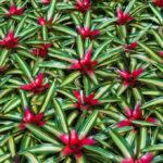 bromelia Neoregelia. Descripción y cuidados