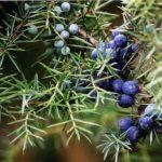 Plantación, cuidados y propiedades de los Enebros