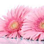 Cuidados y cultivo de la Gerbera Daisy. Consejos