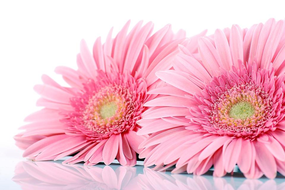 Cuidados Y Cultivo De La Gerbera Daisy Consejos Como Plantar Org