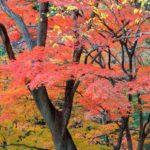 Acer palmatum. Cuidados y variedades