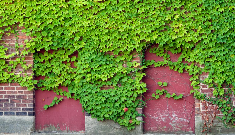 12 plantas trepadoras para nuestro jard n como for Plantas trepadoras para muros