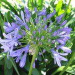 Plantación y cuidado de plantas bulbosas